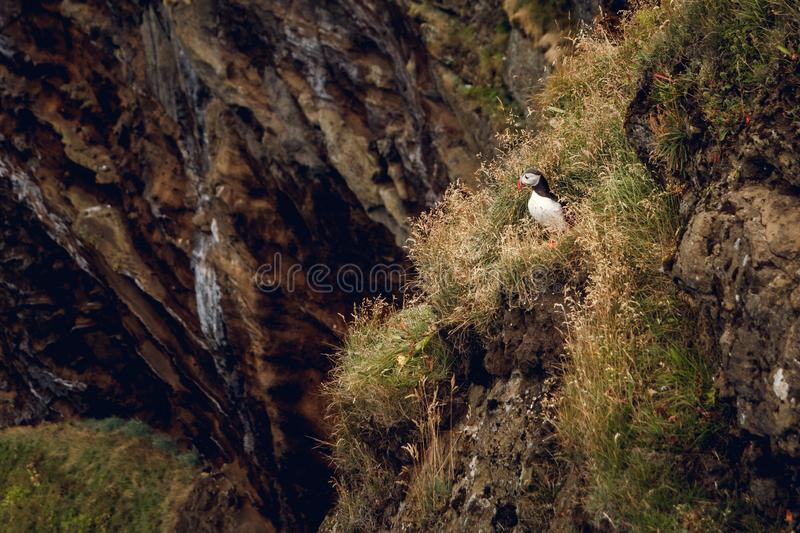 Atlantic Puffin sitting on cliff, bird in nesting colony, arctic black and white cute bird with colouful beak, bird on. Rock, green background, Norway stock photos