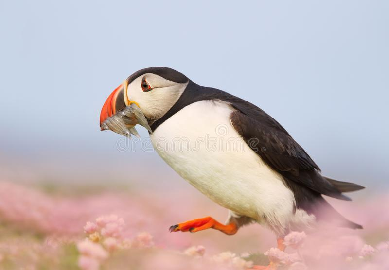 Atlantic puffin walking with sand eels in the beak. Atlantic puffin walking in the field of thrift with sand eels in the beak, Scotland, UK royalty free stock photo