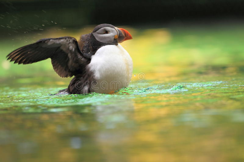 Atlantic puffin. The atlantic puffin in water stock images