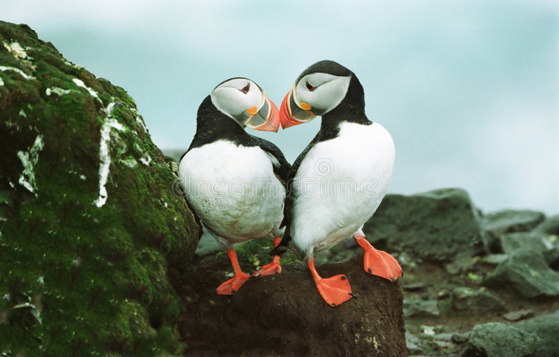 Download Atlantic Puffins stock image. Image of couple, colorful - 113439