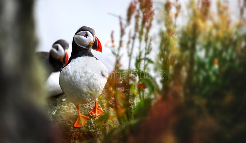 Atlantic Puffins bird or common Puffin, Fratercula arctica. Norway most popular birds stock photos