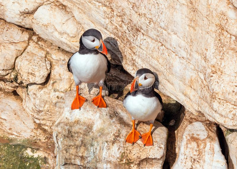 Atlantic Puffins - Fratercula arctica on Bempton Cliffs in Yorkshire, England royalty free stock photos
