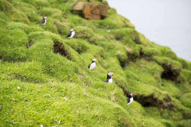 Atlantic puffins, Fratercula arctica in its colony. Atlantic puffins, Fratercula arctica sitting on a cliff in its colony on the Faroe Islands stock images