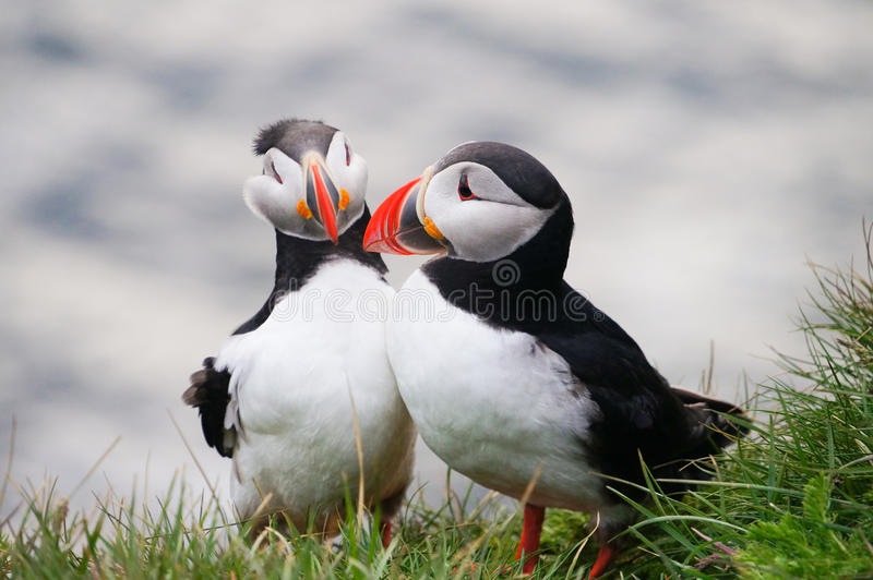 Atlantic Puffins in Latrabjarg cliffs, Iceland. royalty free stock photography
