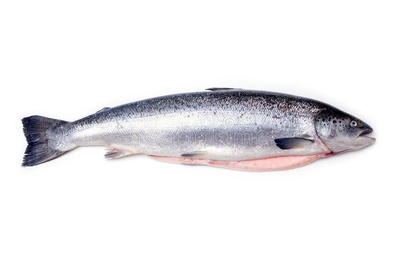 Atlantic salmon fish stock photos
