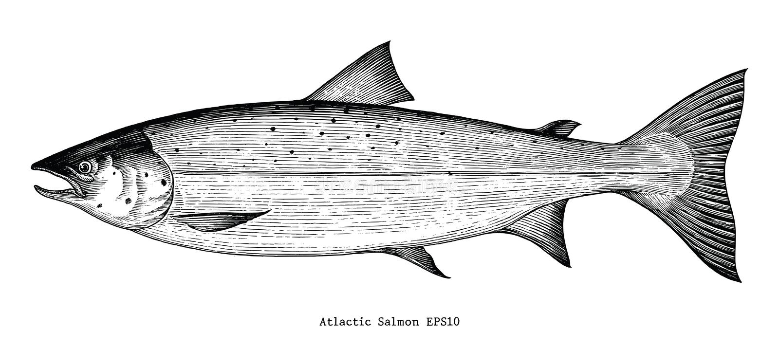 Atlantic salmon hand drawing engraving style. Isolated on white background royalty free illustration