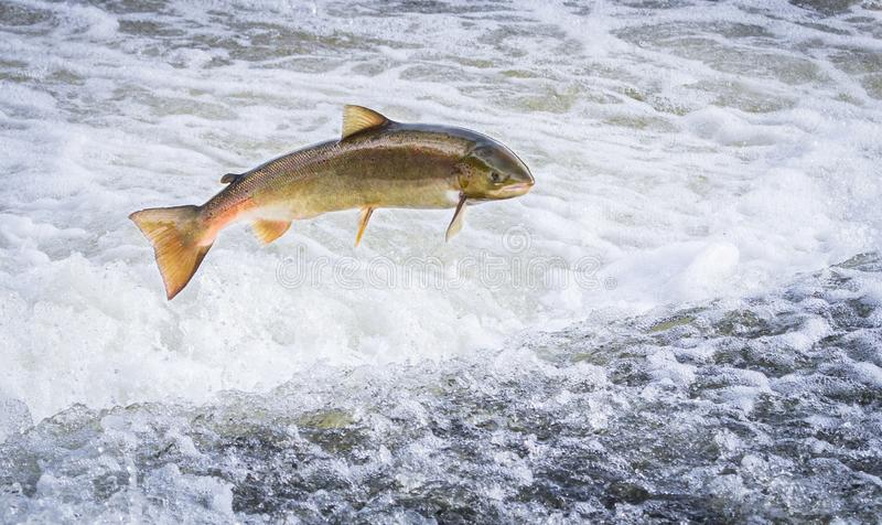 An Atlantic salmon Salmo salar jumping. An Atlantic salmon Salmo salar jumps out of the water at the Shrewsbury Weir on the River Severn in an attempt to move stock photos