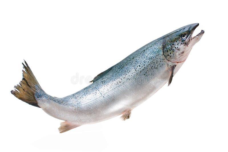 Atlantic salmon royalty free stock photo