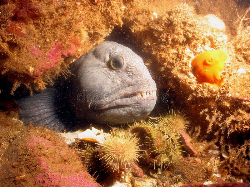 Atlantic Wolffish. Showing fin royalty free stock images