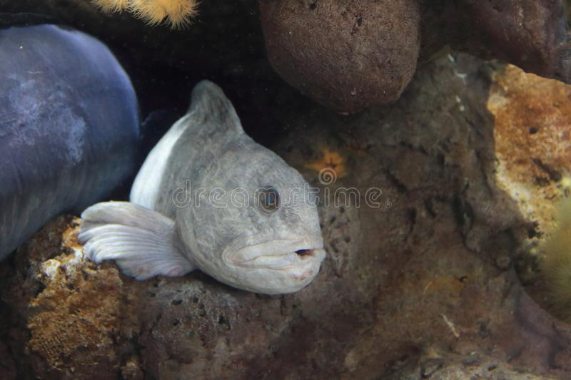 Atlantic wolffish. On the rock in water royalty free stock images