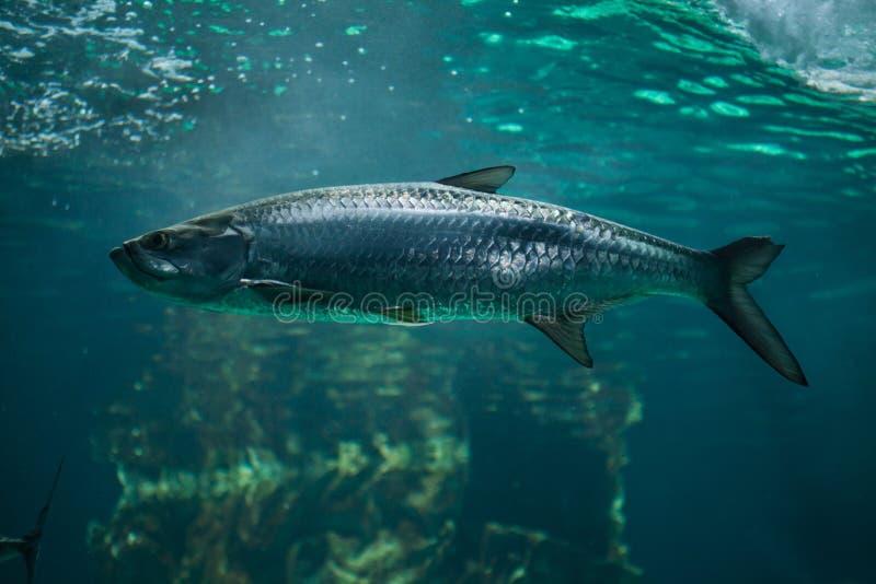 Atlanticus atlantique de Megalops de tarpon photo libre de droits