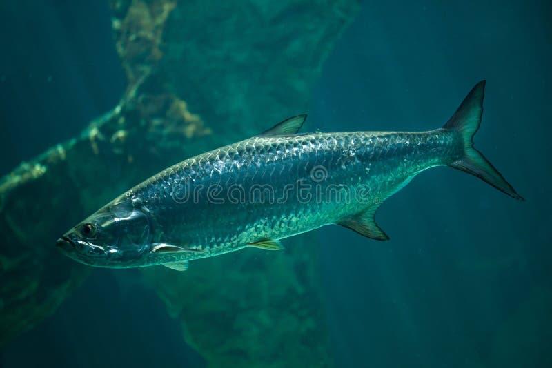 Atlanticus atlantique de Megalops de tarpon image libre de droits