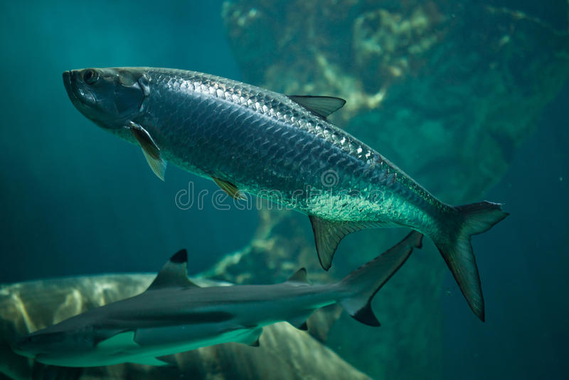 Atlanticus atlantique de Megalops de tarpon images stock