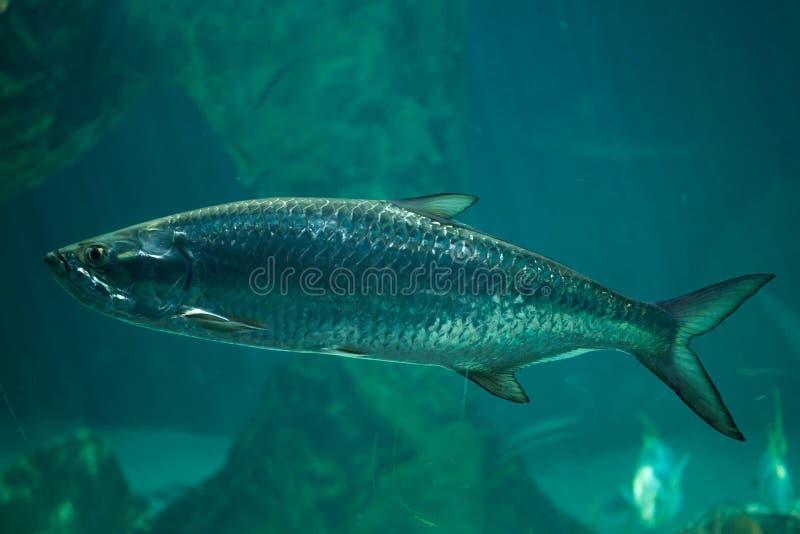 Atlanticus atlantique de Megalops de tarpon photographie stock libre de droits