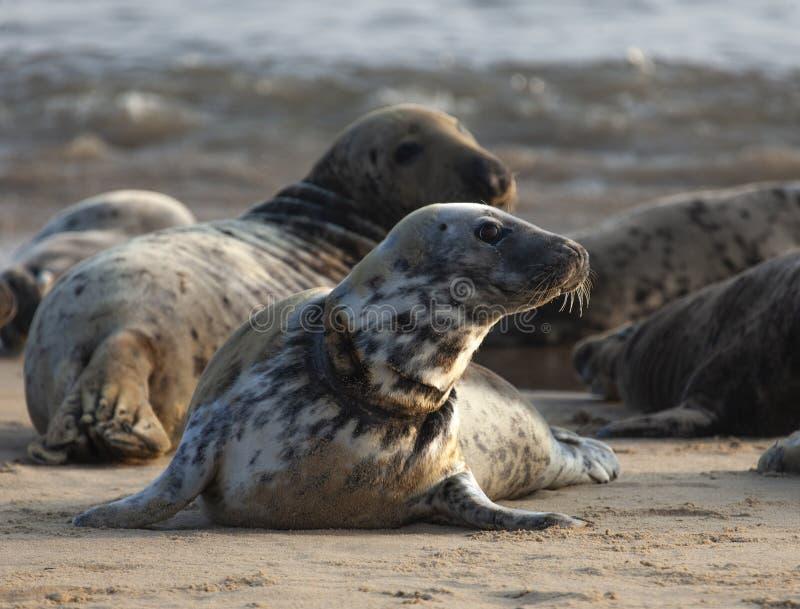 Atlantische grijze verbinding op het strand royalty-vrije stock afbeelding