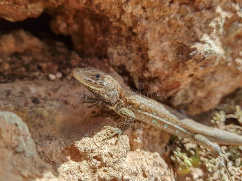Atlantische hagedis ( Gallotiaatlantica mahoratae) op het Eiland Lanzarote, Canarische Eilanden spanje stock foto's