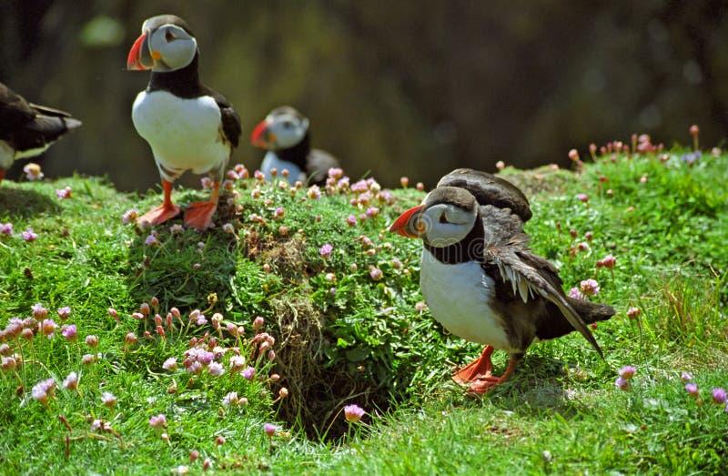 Atlantische Papageientaucher, die Shetlandinseln stockfotografie