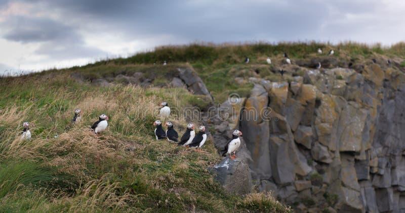 Atlantische Papageientaucher in Island lizenzfreies stockbild