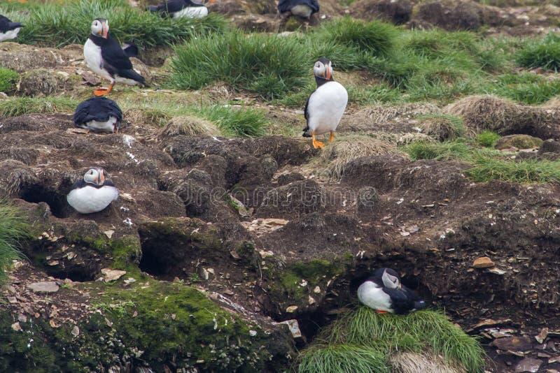 Atlantische Papageientaucher und ihre Bauten, Neufundland stockfotografie