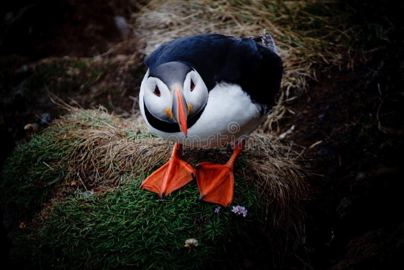 Atlantische papegaaiduiker stock foto