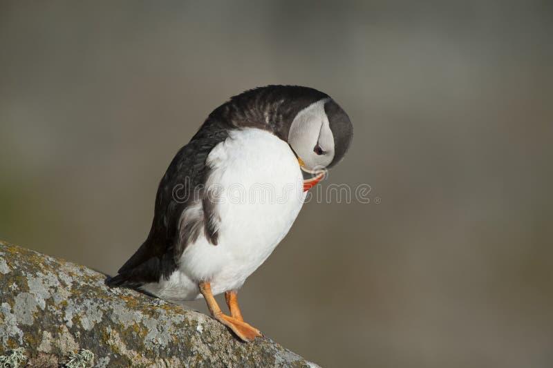 Atlantische Papegaaiduiker die op het eiland Noorwegen gladstrijken van rotsrunde royalty-vrije stock foto
