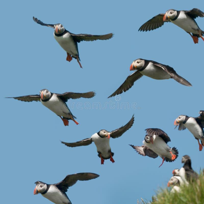 Atlantische Papegaaiduiker of Gemeenschappelijke Papegaaiduiker stock fotografie