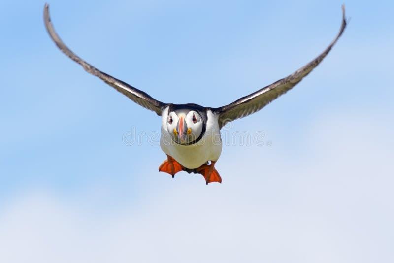 Atlantische papegaaiduiker tijdens de vlucht royalty-vrije stock fotografie
