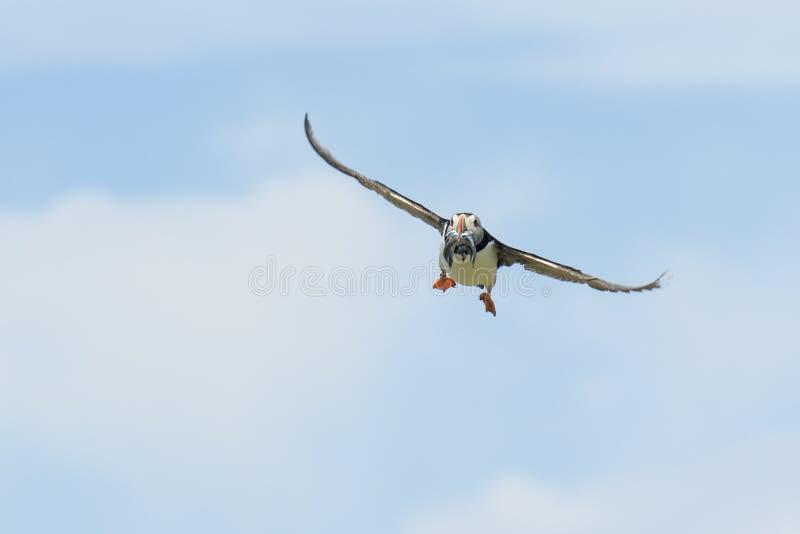 Atlantische papegaaiduiker tijdens de vlucht stock foto's