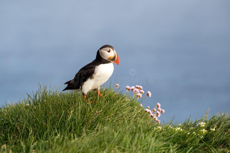 Atlantische Papegaaiduiker Vestfirdir, IJsland, Vogel royalty-vrije stock afbeeldingen