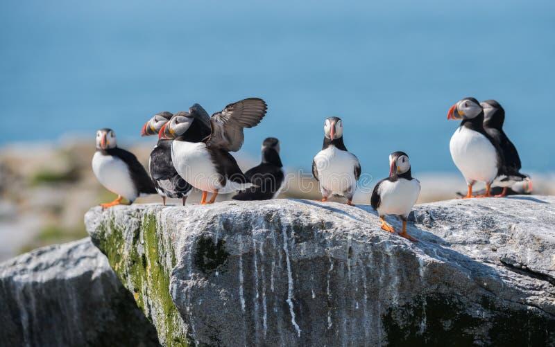 Atlantische Papegaaiduikers stock afbeeldingen
