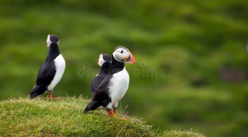 Atlantische Papegaaiduikers bij Westman Eilanden, IJsland stock foto's