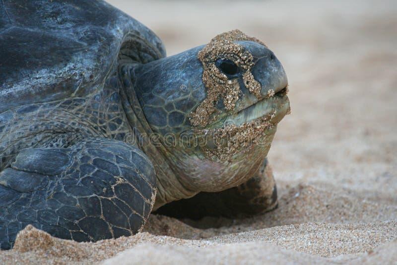 Atlantische Suppenschildkröte stockbild