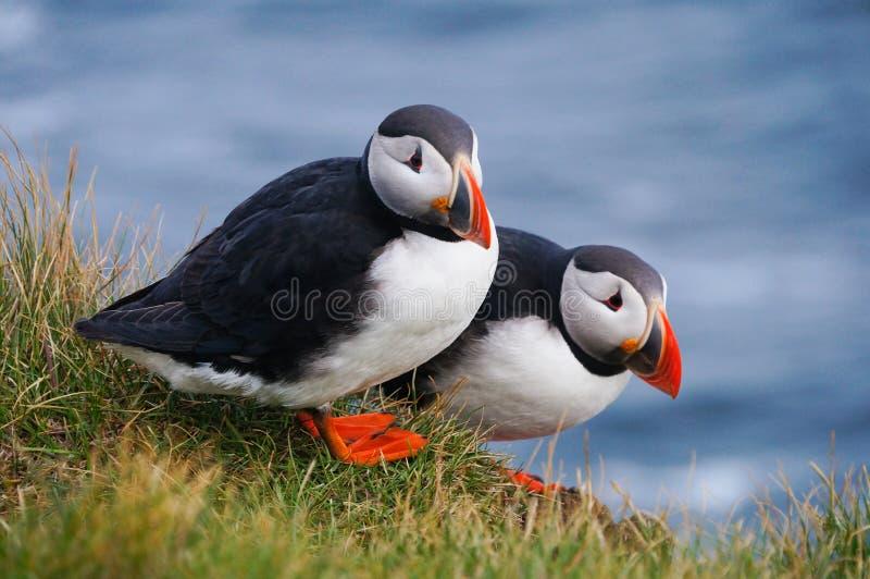 Atlantischer Papageientaucher in Latrabjarg-Klippen, Island stockfotografie