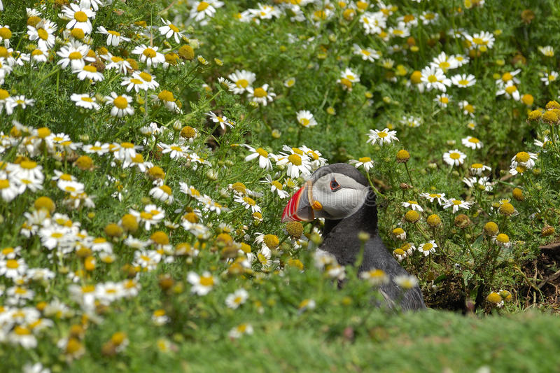 Atlantisches Papageientaucher Fratercula arctica stockbild