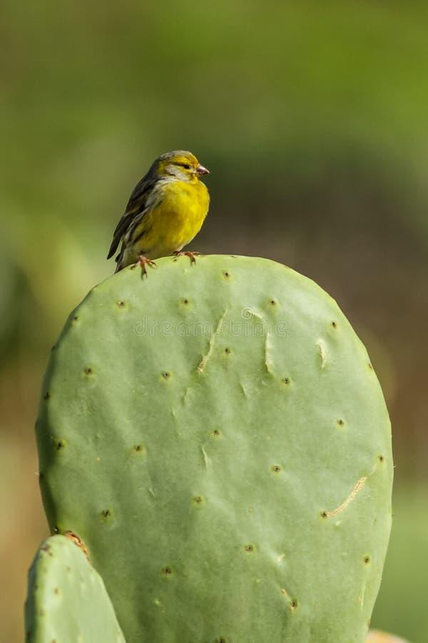 Atlantisk kanariefågelSerinus royaltyfri foto