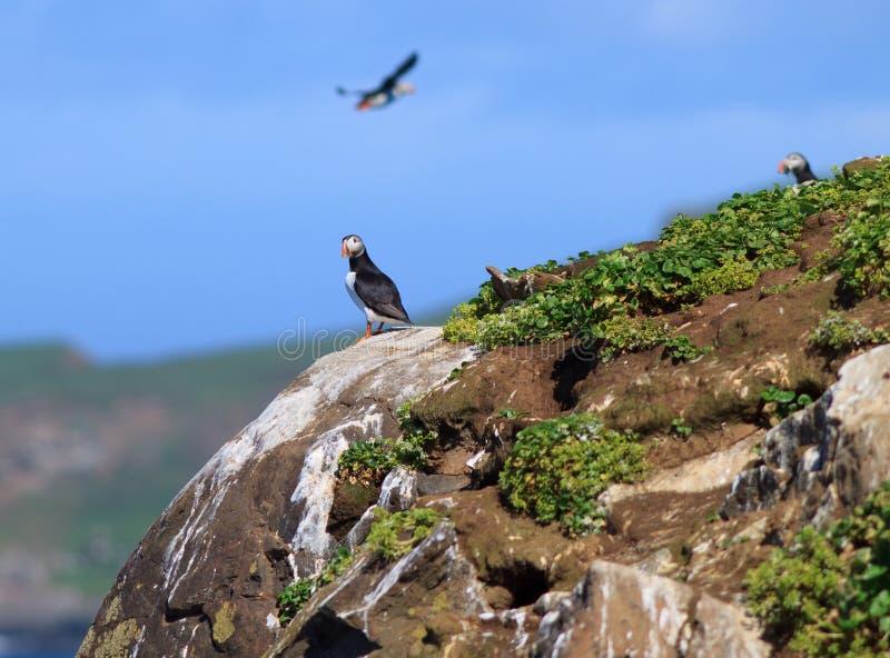 Atlantisk lunnefågel (Fraterculaarctica) på klippaöverkant royaltyfri fotografi