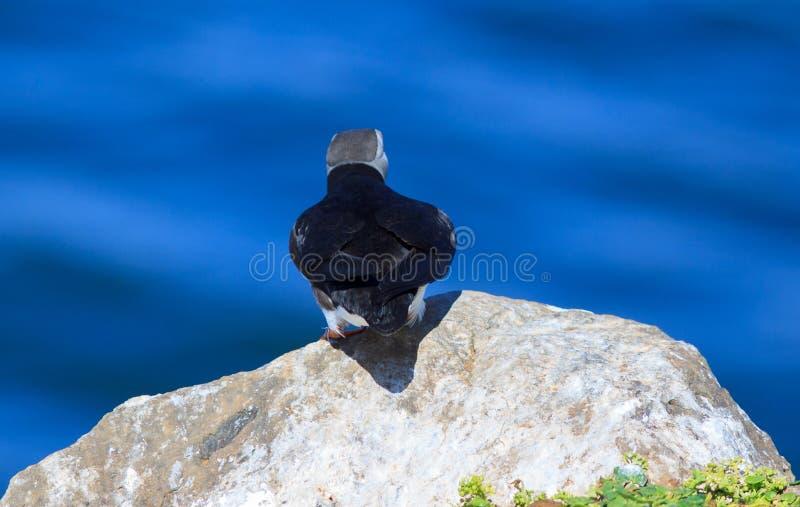 Atlantisk lunnefågel (Fraterculaarctica) på klippaöverkant fotografering för bildbyråer