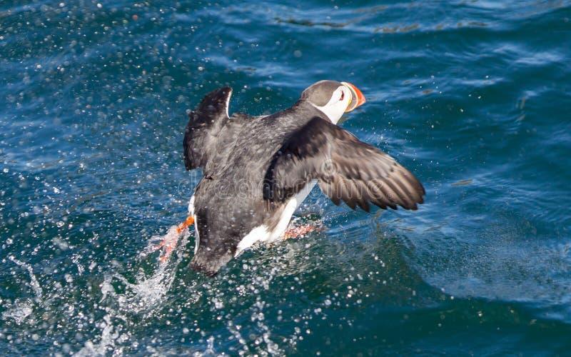 Atlantisk lunnefågel (Fraterculaarctica) som lågt över flyger - vatten royaltyfri bild