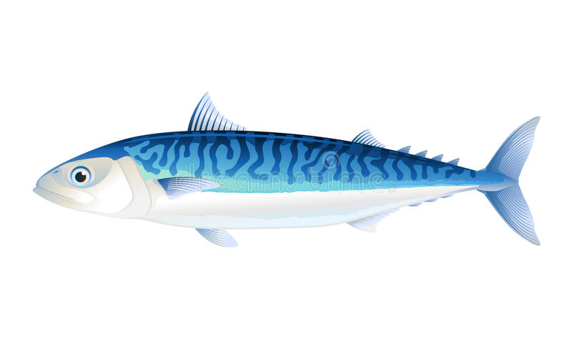 atlantisk mackerel stock illustrationer