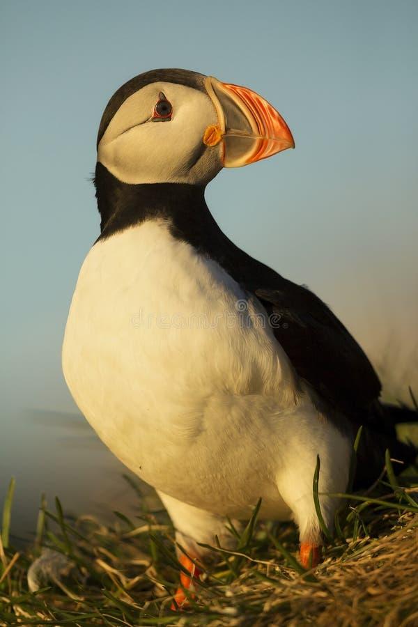 atlantisk puffin royaltyfria foton