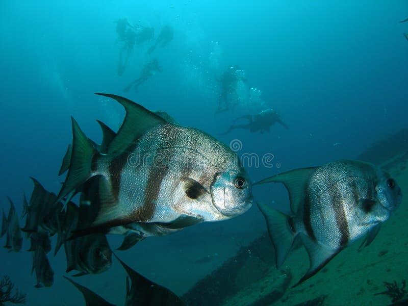 Atlantiska Spadefish arkivbild