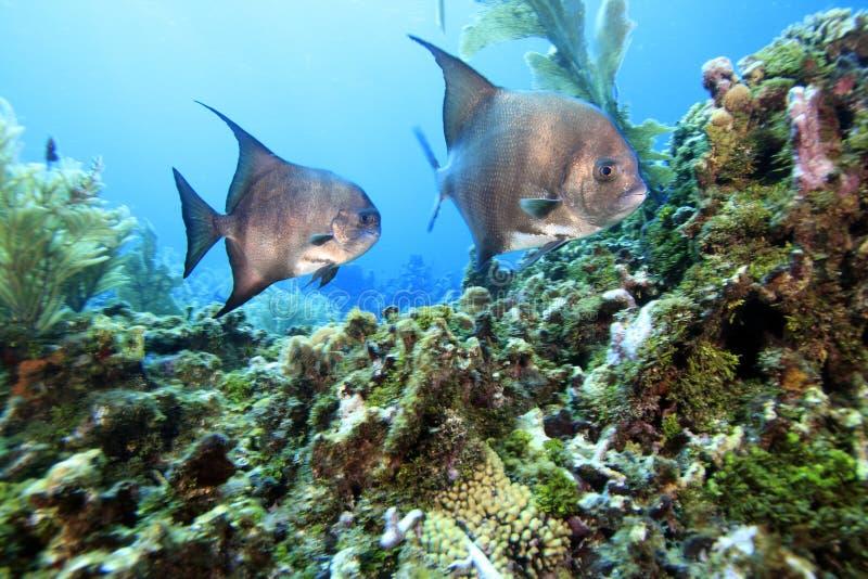 atlantiska spadefish arkivfoto