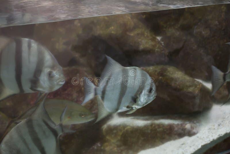 atlantiska spadefish royaltyfria bilder