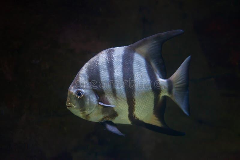 Atlantiska spadefish & x28; Chaetodipterusfaber& x29; arkivfoto