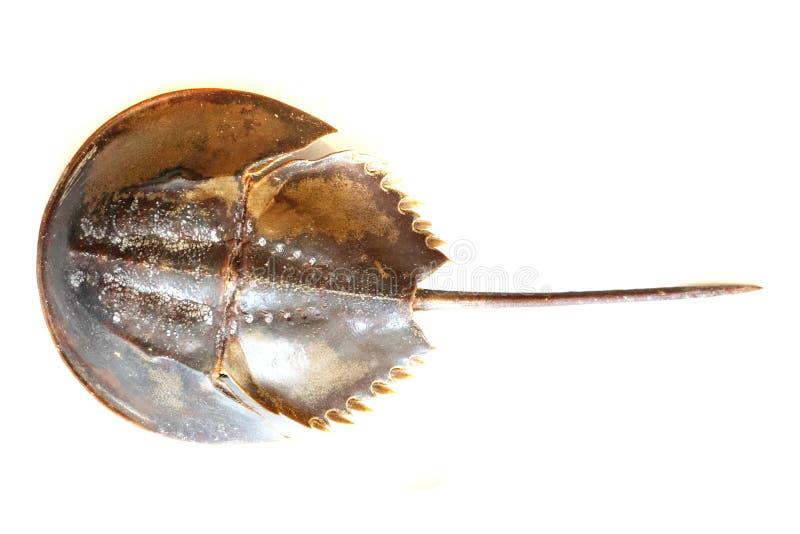 Atlantycki krab zdjęcie royalty free