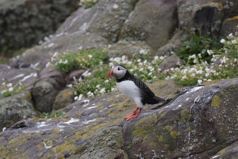 Atlantycki maskonur & x28; Fratercula arctica& x29; stać na skale Wyspa Maj, Szkocja zdjęcia stock