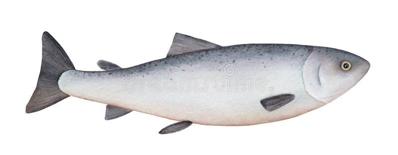 Atlantyckiego łososia akwareli ilustracja ilustracja wektor