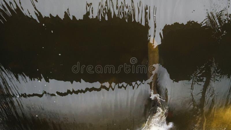 Atlantyckiego łososia skaczący gwałtowni znajdować gniazdujący miejsce Rybi swimm zdjęcia stock