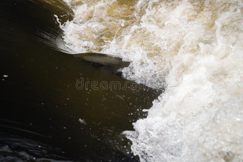 Atlantyckiego łososia skaczący gwałtowni znajdować gniazdujący miejsce Rybi swimm zdjęcie royalty free