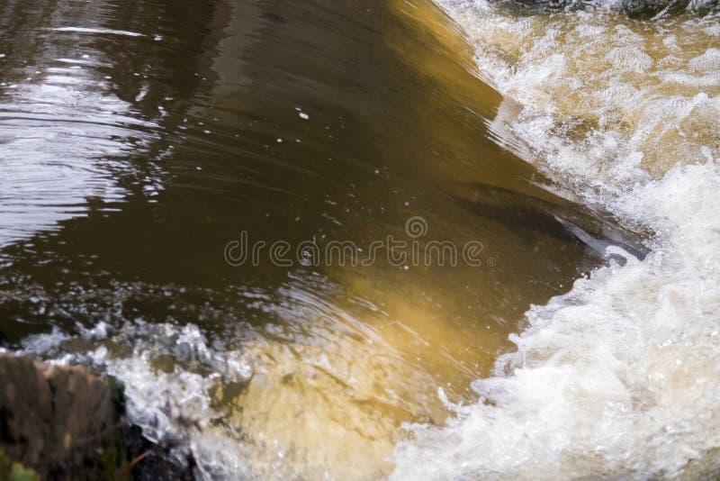 Atlantyckiego łososia skaczący gwałtowni znajdować gniazdujący miejsce Rybi swimm obrazy royalty free